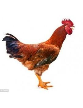 Local Chicken Cock ( Small)