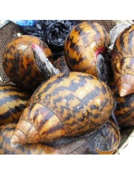 NATIVE SNAIL (4PCS)